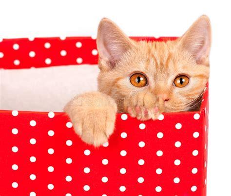 mirada gatito fuera de la caja de regalo roja de archivo imagen 47815309