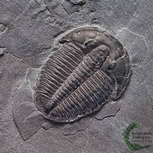 Gem Elrathia kingii Trilobite Fossil