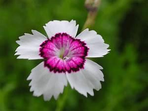 Garten Pflanzen : nelken im garten pflanzen 8 arten f r ein blumen paradies ~ Eleganceandgraceweddings.com Haus und Dekorationen