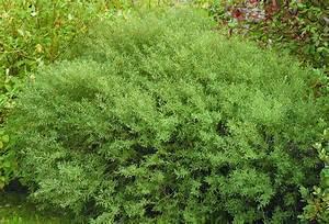 Salix Purpurea Nana Schneiden : dv rgr dvide salix purpurea nana bogr nt ~ Markanthonyermac.com Haus und Dekorationen