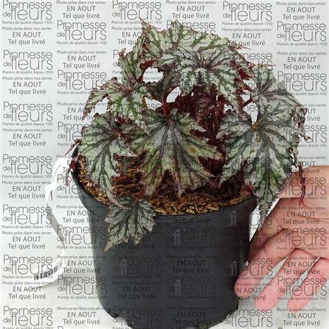 Garden Blush Begonia by B 233 Gonia Garden Blush Vivace Rustique Jusqu 224 10