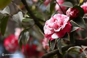camellia flower pictures images 85