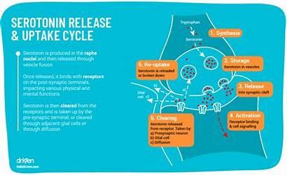 Serotonin Brain Ssri Release Reuptake Role Inhibitors