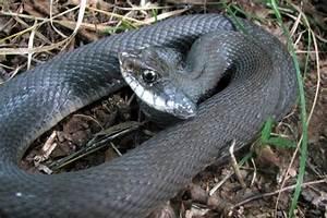 PA HERP IDENTIFICATION » Eastern Hog-nosed Snake