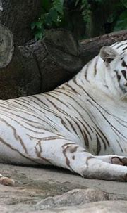 The World's First White Tiger Safari Has Been Opened & It ...