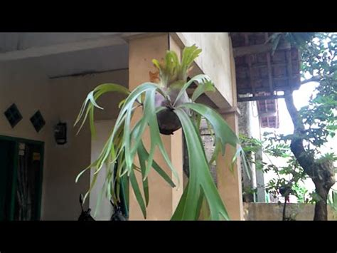 how to make a hanging l how to make hanging plants platycerium youtube