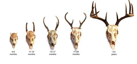 adw deer age jpg