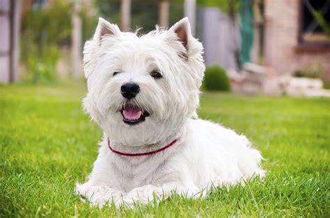Westie Terrier Grooming