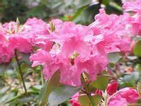 Photos Du Rhododendron (rhododendron Williamsianum