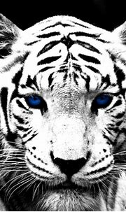 Blue Tiger Wallpaper Hd | Amazing Wallpapers