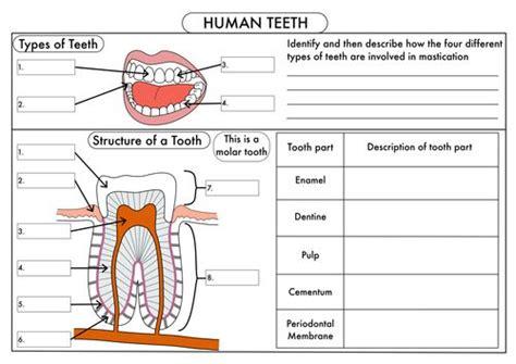 types  teeth worksheet    images human