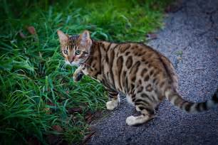 leopard cat leopard cat flickr photo