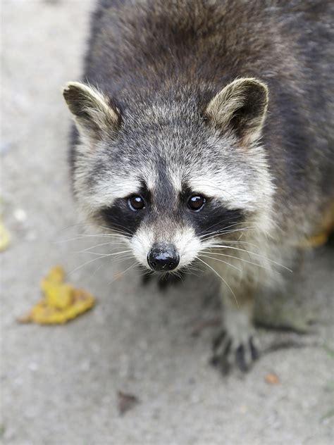 domesticated raccoon what to expect from a pet raccoon