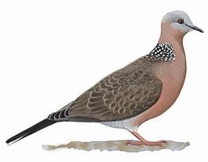 Mourning Dove | Audubon Field Guide