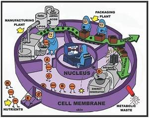 Unit 3  Cells And Energy  U2013 Ms  Lew U0026 39 S Biology Page