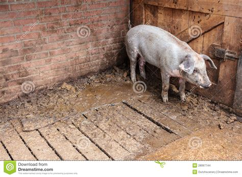 pig standing   stable stock images image