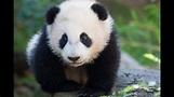 Panda Bear: Giant Animals for Children Kids Videos ...