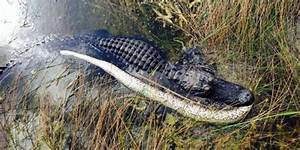 This Alligator Just Fought A Python In The Everglades And Won