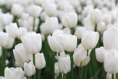 immagini di fiori bianchi il significato dei fiori bianchi floraqueen italia