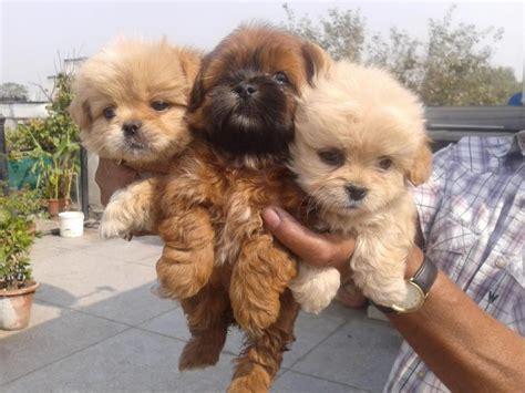 lhasa apso puppies  salesaurav  dogs