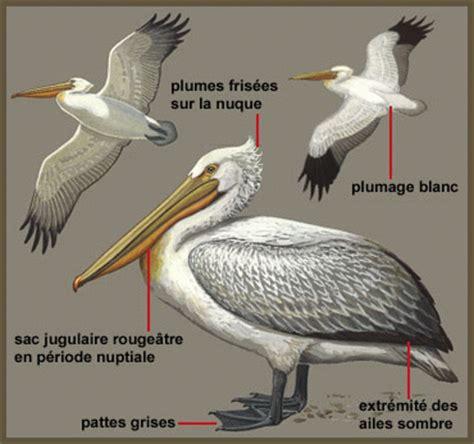 le de poche pelican la symbolique des oiseaux et si on decidait de rentrer