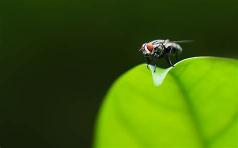 Animated Fly Wallpaper - fly wallpaper 1053336