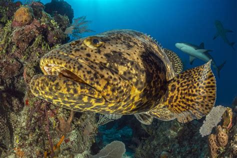 grouper goliath fish reef caribbean florida identification common guide borut furlan getty cuba