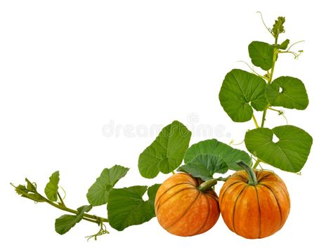 Beautiful Pumpkin With Leaves On A White Background Stock