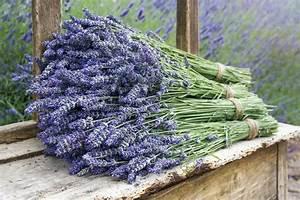 Lavender Varieties and Blooming Seasons