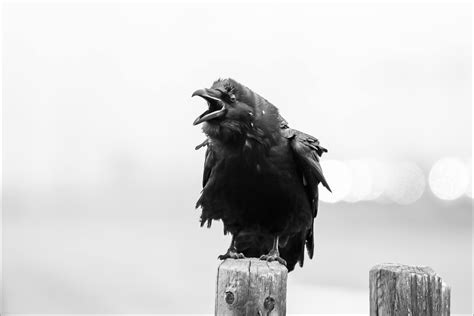 Ravens  Christopher Martin Photography