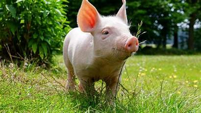 Pig Wallpapers Backgrounds Background Grass Domestic Animals
