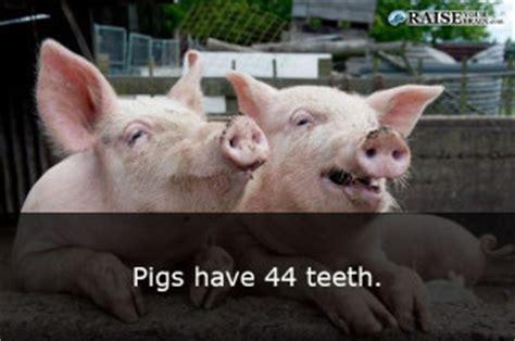 weird animal facts  pigs raiseyourbraincom