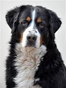 Berner Sennenhund Gewicht : hunde auswahl erziehung und besch ftigung ~ Markanthonyermac.com Haus und Dekorationen