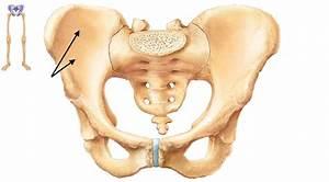 Pelvic Girdle  U0026 Lower Limb