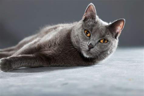 chartreux breed information   thriftyfun