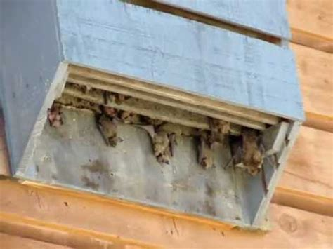 bathouse   bats    attract bats youtube