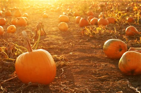 Pumpkin Patch Scottsdale by Valley S Best Pumpkin Patches Page 2