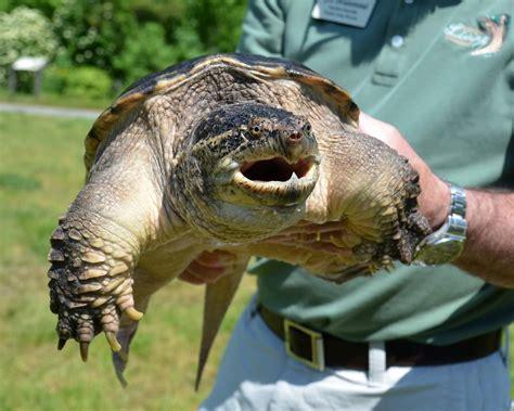 Memahami Tentang Kura Air Common Snapping Turtle / CST