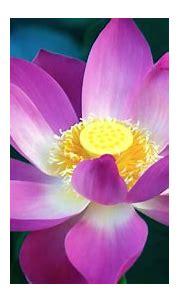 3D Pink Lotus Flower Wallpaper   2021 Cute Wallpapers