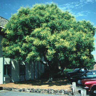 koelreuteria koelreuteria paniculata golden raintree