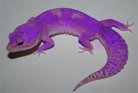 leopard gecko colors leopard gecko colors thread new leopard gecko morph