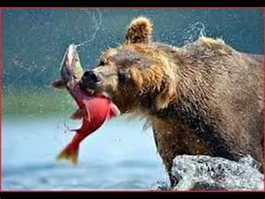 Alaska Bear Documentaries BBC - Grizzly Bears Catching ...