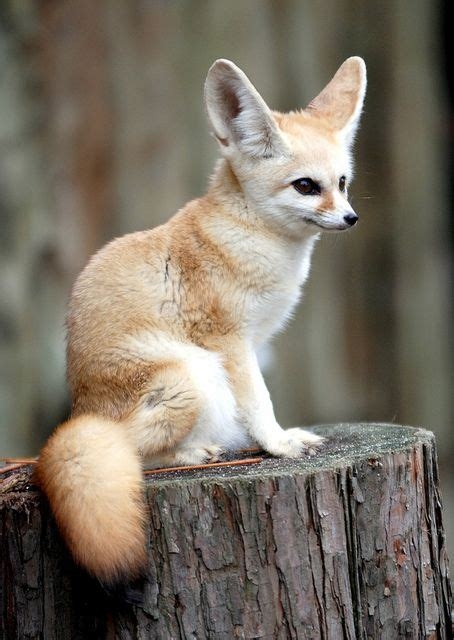 how can cats go without food best 25 fennec fox ideas on foxes baby foxes
