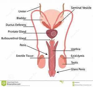 Male Reproductive System Anatomy Pictures - Human Body ...