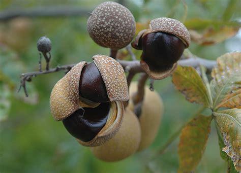 aesculus glabra var arguta landscape plants oregon