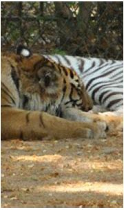 The white Bengal tiger: the history and future of the ...