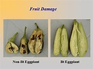 The Role of Genetically Modified Crops in Attaining Food ...