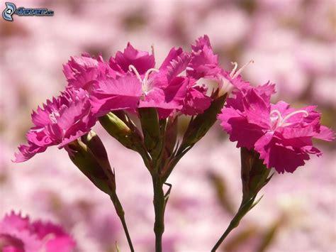 fiori garofano garofano