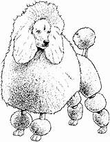 Coloring Pages Poodle Dog Colouring Toy Poodles Printable Breed Hound Basset Template Getcolorings Sheet Miniature Coloringhome Pag sketch template