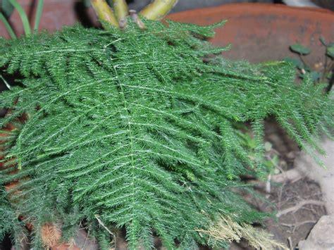 asparagus genus